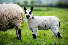 Kerry Hill Sheep And Lamb On Farm Pasture