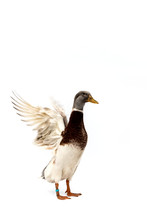 View Of Duck With Spreading Wings