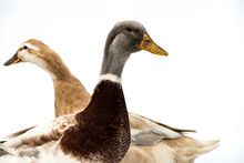 Close Up Of Brown And Grey Ducks