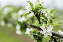 Close Up View Of White Blossom...