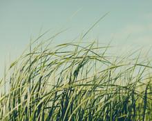 Sea Grasses Blowing In Wind