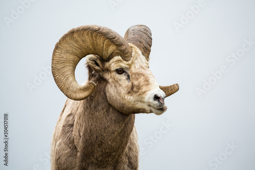 Photo Male bighorn sheep ram chewing with jaw sideways grinding his food
