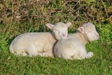 Cute November Lambs Lying In The Dorset Sun Together