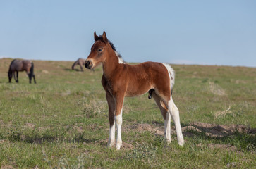 Cute Wild Horse Foal in Spring in the Utah Desert