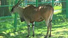 African Eland Standing Near Th...