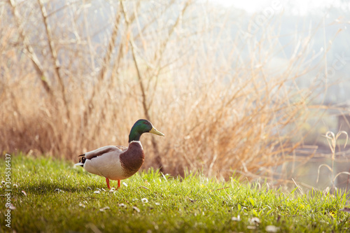 A duck enjoying a warm and sunny day Wallpaper Mural
