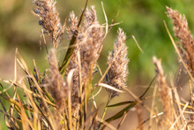 Soft Defocus Image Of Dry Grass Seed Heads In Autumn Sunshine