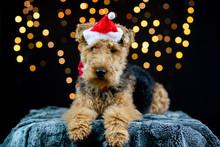 Welsh Terrier Mit Weihnachtsm