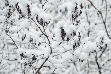 Bare Tree Branches Covered With Snow In Winter