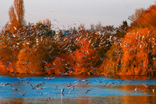 Flying Gulls Over A Lake In Th...