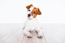 Cute Jack Russell Dog Lying On The Floor At Home