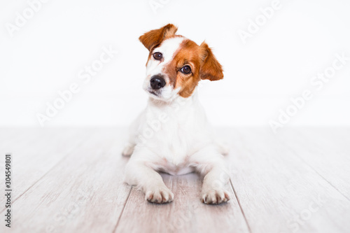 Obraz cute jack russell dog lying on the floor at home - fototapety do salonu