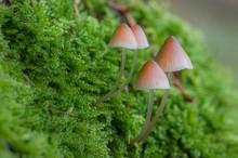 Closeup Of Brown Mushrooms Grown In The Grass