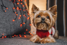 Yorkshire Terrier Dog In A New...