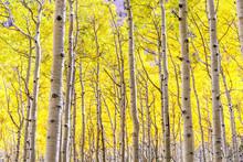 Aspen Grove In Golden Fall Spl...