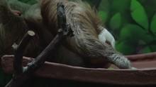 Close Shot Of Sloth Picking Up...