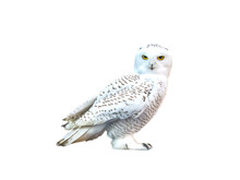 White Owl, Snow-white Bird Sit...