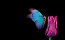 Beautiful Blue Morpho Butterfl...