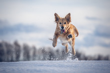 Jumping Dog On The Snow