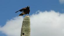 Hawk Perches On Saguaro Cactus