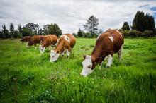 Vacas, Ganado Ganaderia En Las...