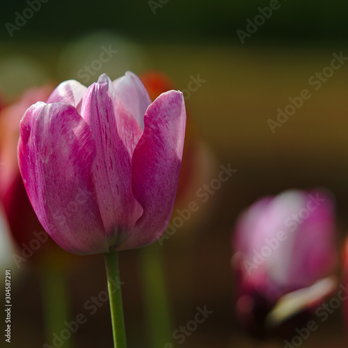 Fototapety, obrazy: Pink tulip flower with natural background blurred
