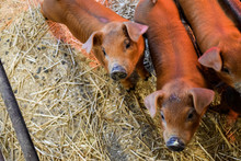 Baby Pig Piglet On Farm Duroc