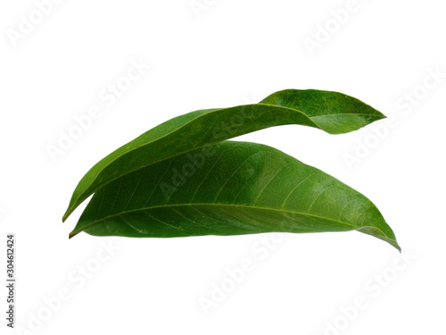 Fototapety, obrazy: Tree with green leaves. The name of the plant is Magnolia champaca. Green leaf on white background.