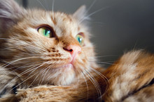 Close Up View Of Green Eyes Ginger Cat