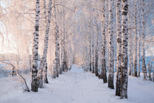 Snow Covered Birch Tree Branches View On Blue Sky Branches Covered With Snow Nature Winter Landscape