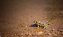 Lake Frog Basks In Shallow Water