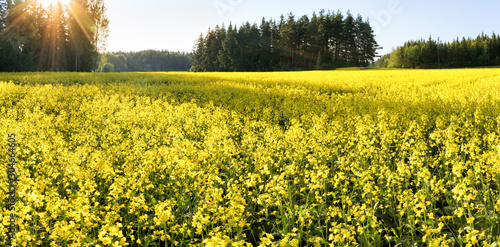 Fotografie, Obraz A field of yellow flowering blooming mustard seed plants in Rusko, Finland