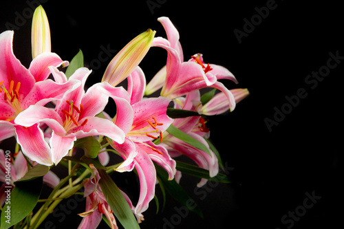 Leinwand Poster A close up of lily stargazers in a studio with a black background
