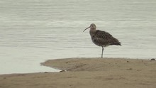 A Curlew Preens At The Water's Edge