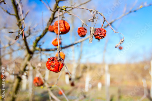 Valokuvatapetti Dry mummified fruits on a tree branch in the sunny spring day