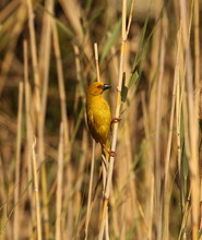 Eastern Golden Weaver Male Or ...