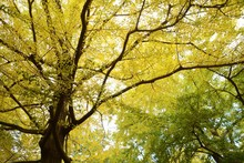 The Autumn Leaves Of The Ginkgo Trees / The Leaves Of The Ginkgo Turn In To Yellow Colors Late November.