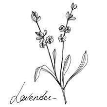Vector Lavender Floral Botanic...