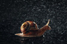 Garden Snail And Raining Water...