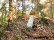 common stinkhorn mushroom