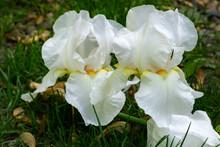 Beautiful White Very Large Iri...