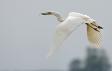 Mature Great White Egret Shouts And Cries In Flight With Curved Neck And Stretched Legs