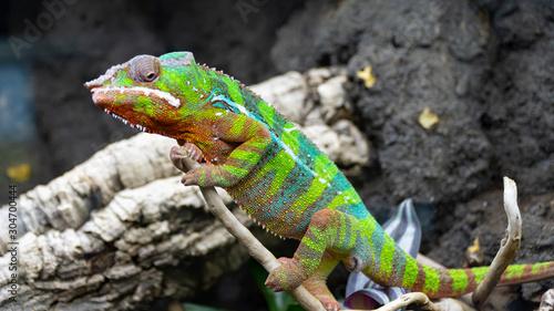 Foto auf AluDibond Chamaleon Kameleon lamparci Furcifer paralis z rodziny kameleonowate