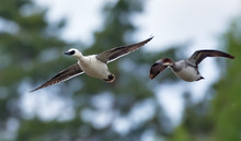 Male And Female Smews Fly Together In Mating Spring Time