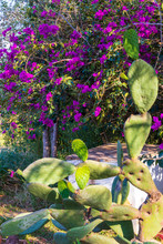 Bougainvillea And Cactus  At S...