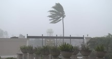 Strong Hurricane Wind Lashes Palm Tree - Noul