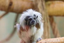Small Monkey Cotton-top Tamari...