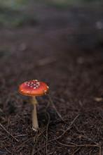 Une Belle Amanite Tue-mouche Ressort Sur Le Sol Marron D'une Forêt De Conifères