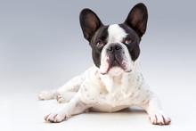 Adorable French Bulldog Posing...