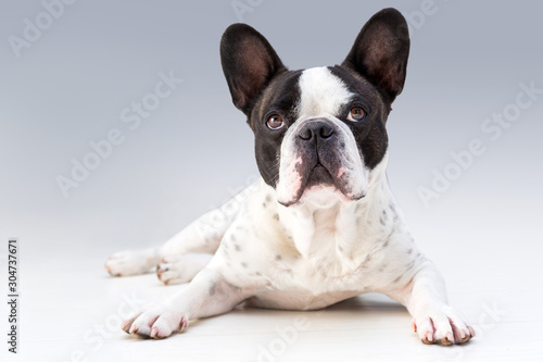 Adorable french bulldog posing on the floor Canvas Print